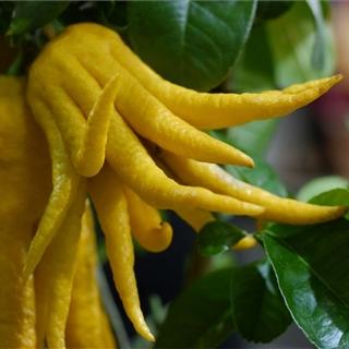 Für Ihren Wellnessgarten - Die Ausgefallene Zitrus Buddhas Hand