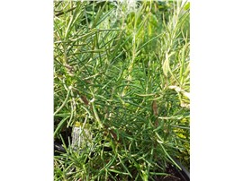 Rosmarinus angustifolia im Gartencenter Graz - Gartenplanung Steiermark