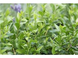 Myrte kaufen - Im Onlineshop für Garten