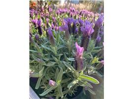 Für Ihren Wellnessgarten - Schopflavendel dauerhaft blühend, nicht winterhart, schöne Terrassenpflanze oder für Tröge