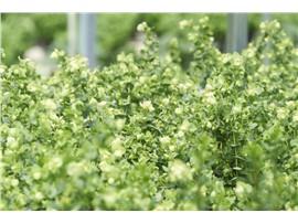 Origanum rotundifolium - In unserem Garten Onlineshop