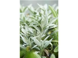 Marzipan-Salbei - Für Ihren Wohlfühlgarten