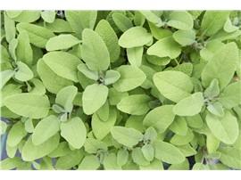 Für Ihren Wellnessgarten - Salvia officinalis