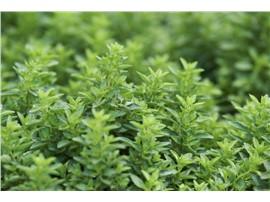 Für Ihren Wellnessgarten - Origanum vulgare