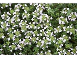 Für Ihren Wellnessgarten - Thymus vulgaris