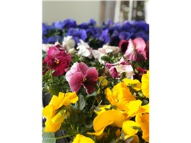 Stiefmütterchen großblütig in der Baumschule Graz -   reichblütiger Frühlingsblüher bis Mai, ideal für Friedhof, Tröge und Beete
