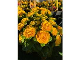 Rosenprimel kaufen - Im Onlineshop für Garten