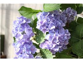 Hydrangea - In unserem Garten Onlineshop