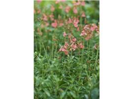 Salvia Jamensis - In unserem Garten Onlineshop