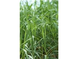 Artemisia abrotanum - In unserem Garten Onlineshop