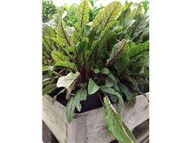 Für Ihren Wellnessgarten - Rumex acetosa