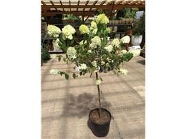 """Hydrangea paniculata """"Limlight"""" auf Stamm in der Baumschule Graz -   Die Blütezeit erstreckt sich von Juli bis Mitte Oktober   Stammhöhe: ca: 90cm"""