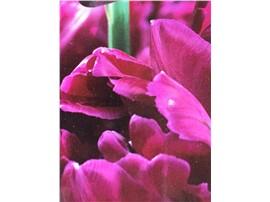 Gefüllte frühe Tulpen - 5 Stück kaufen - Im Onlineshop für Garten