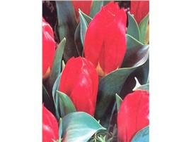Tulipa ssp. Red Revival in der Baumschule Graz -   Packung: 7 Stück   Pflanzzeit: Oktober - November   Blütezeit: April   Höhe: 35 cm