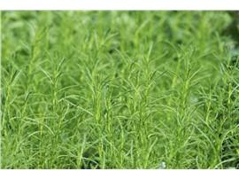 Santolina viridis - In unserem Garten Onlineshop