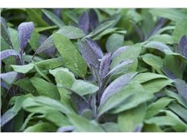 """Purpur-Salbei """"Purpurmantel"""" kaufen - Im Onlineshop für Garten"""
