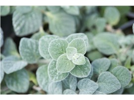 Origanum dictamnus - In unserem Garten Onlineshop