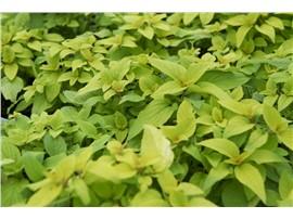 Für Ihren Wellnessgarten - Salvia elegans