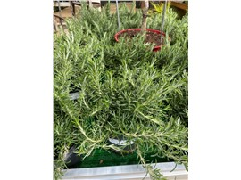 Hängerosmarin kaufen - Im Onlineshop für Garten