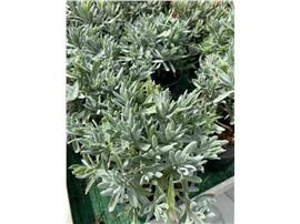 Lavendel kaufen - Im Onlineshop für Garten